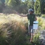 Ausbringung von Schlangenknöterich Samen im Conzefenn