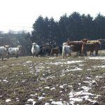 Galloway Herde