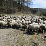 Schafwanderungen 2018