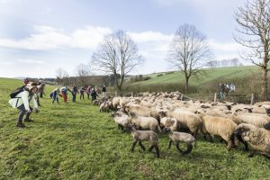 Erste Schafwanderung 2018