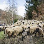 Première sortie pour les moutons