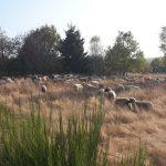Les moutons partenaires du maintien de la biodiversité floristique