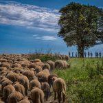 Schafwanderungen 2020